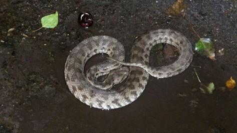 Найденная в центре Воронежа змея оказалась одной из самых ядовитых в России