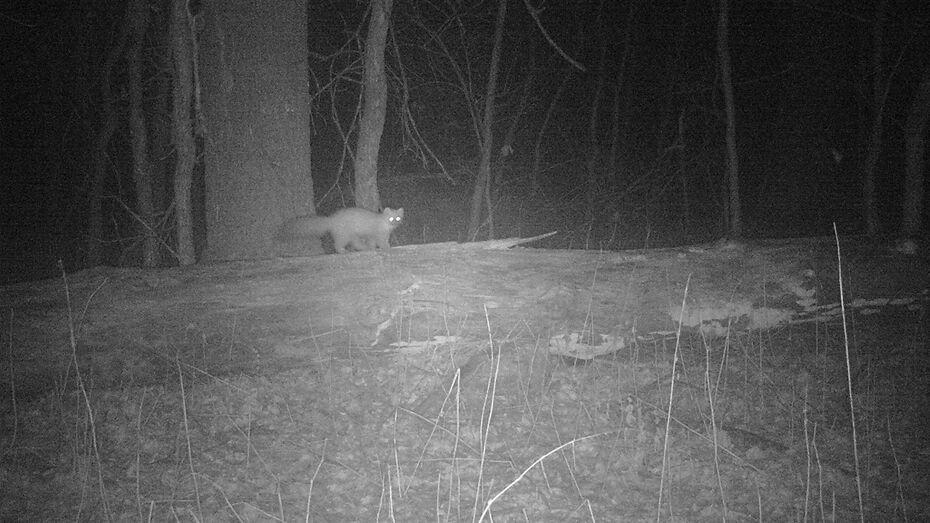 Скрытная куница попала в фотоловушку заповедника в Воронежской области