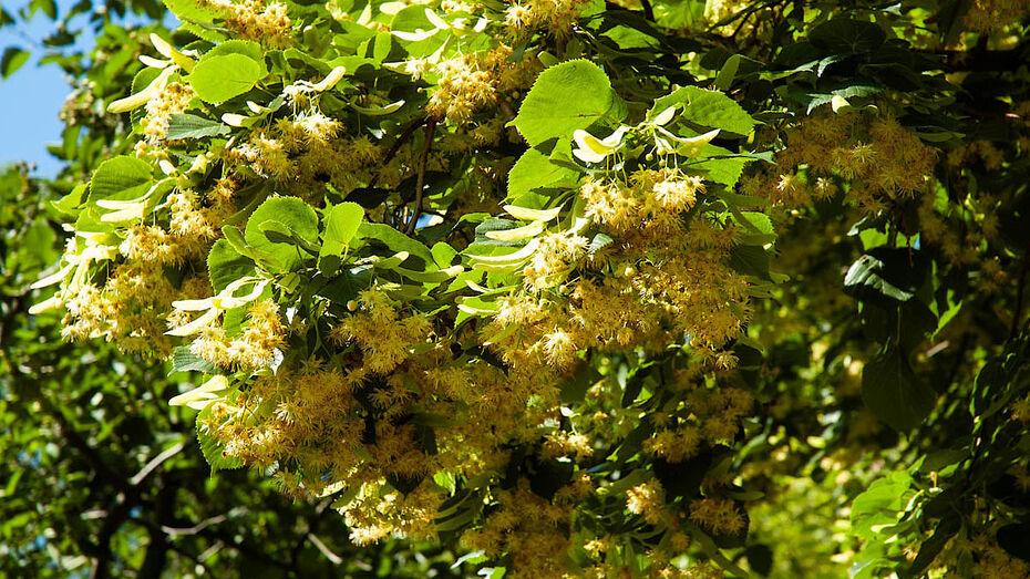 В Воронеже до конца 2021 года дополнительно потратят 11 млн рублей на высадку деревьев