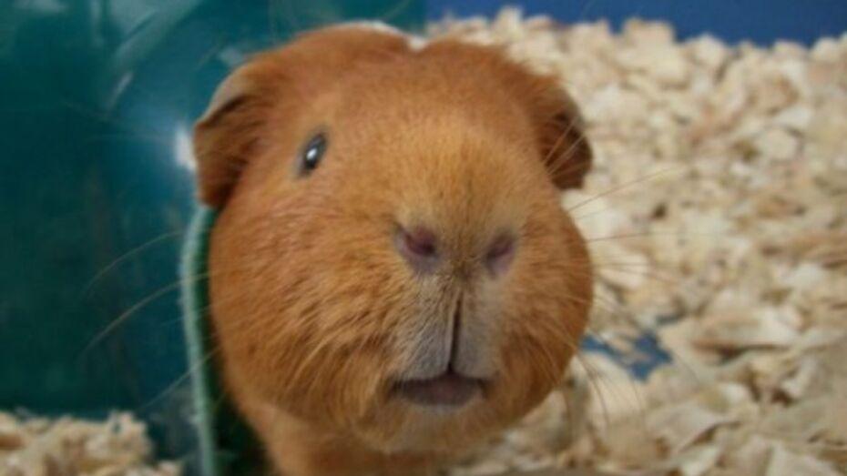 Житель Семилук может сесть в тюрьму на четыре года за кражу морской свинки
