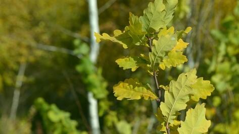 В Грибановском районе посадили 42 тыс дубков