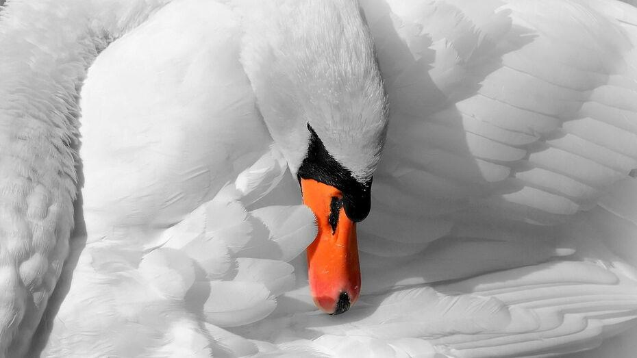 Сбор денег для лебедя с пулей в крыле начали в Воронеже