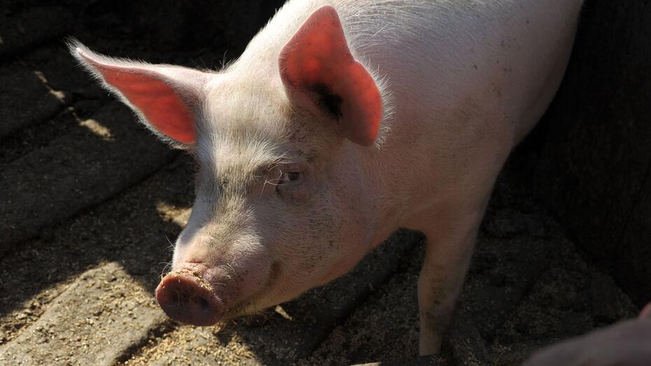 Карантин по африканской чуме свиней сняли на складе в Воронеже