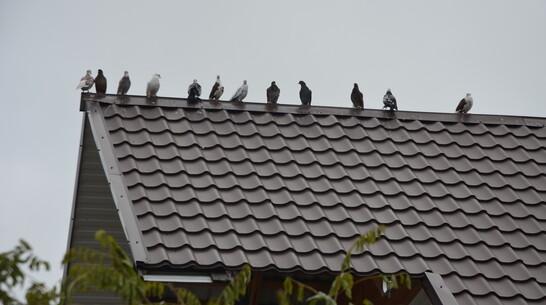 В Павловске около 30 породистых голубей бросили на окраине города