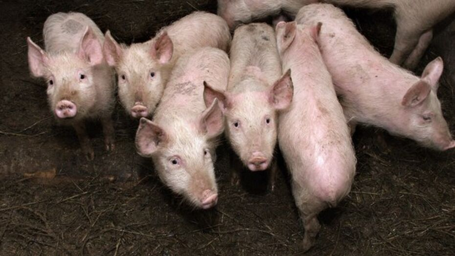 Поголовье свиней в Воронежской области за год выросло на треть