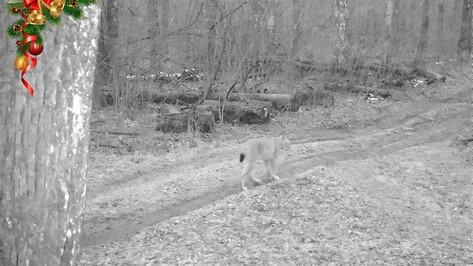 Одинокая рысь вновь попалась в фотоловушку Воронежского заповедника