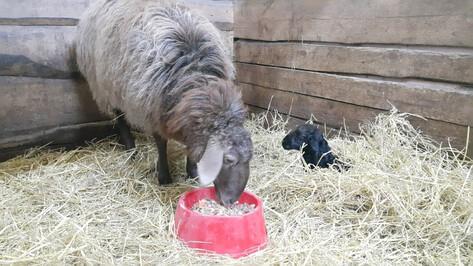 В Воронежском зоопитомнике пара курдючных овец впервые обзавелась потомством