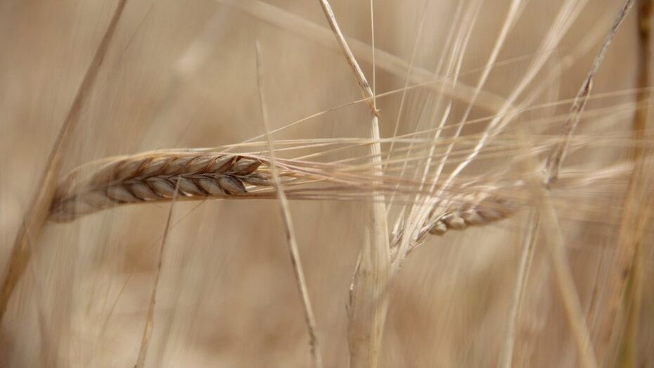 Минсельхоз США предрек России статус крупнейшего экспортера пшеницы