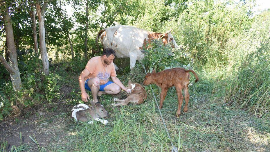 В грибановском поселке корова отелилась тройней