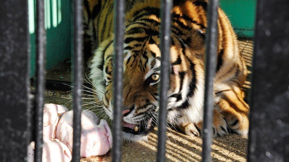 Тигр-беглец Шерхан вышел к посетителям Воронежского зоопарка
