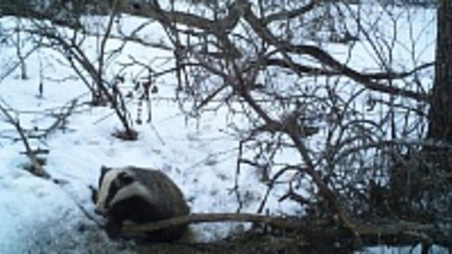 В Хоперском заповеднике барсуки залегли в спячку только с наступлением морозов