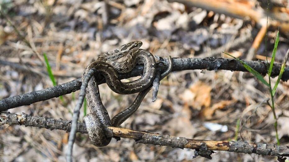 Популяция змей в Воронежской области увеличилась в 2017 году