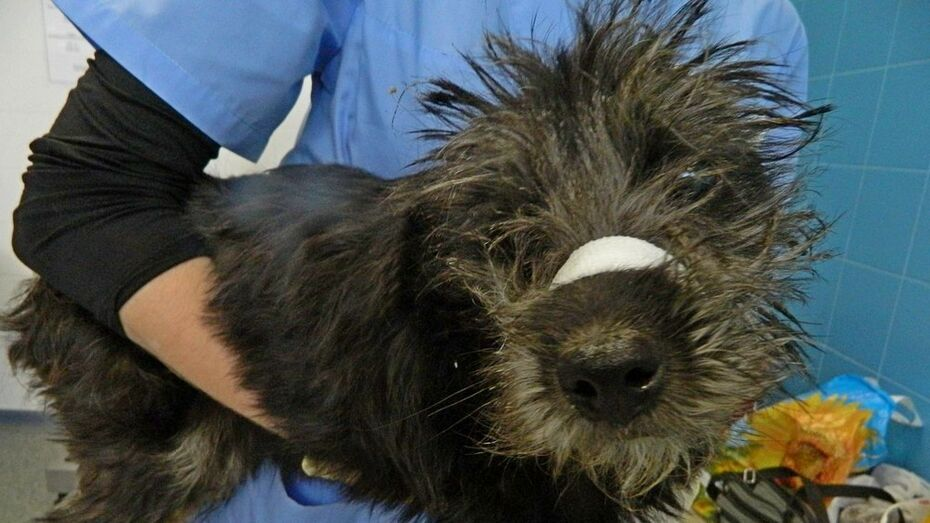 В Воронеже живодеры отрезали собаке уши и хвост