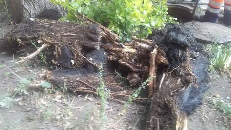 Причиной засоров в 2 районах Воронежа оказались проросшие корни тополя