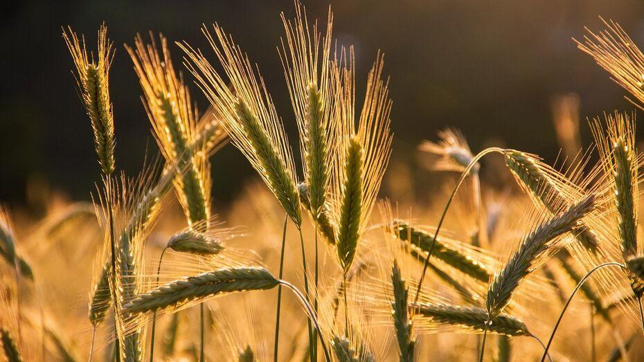 Воронежский «Продимекс» дал благоприятный прогноз на урожай озимой пшеницы в 2022 году