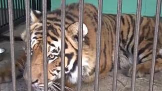 Пойманный в Воронеже тигр Шерхан лишился краснокнижной защиты