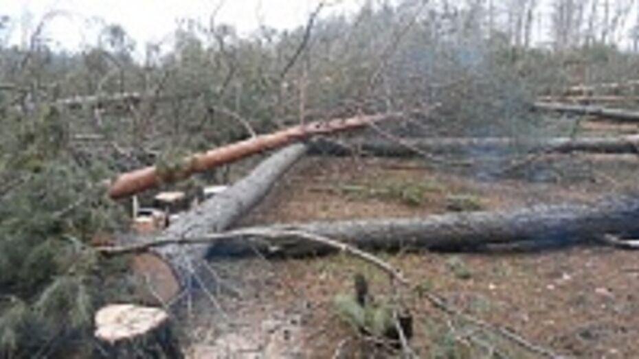 В Воронеже на улице Антонова-Овсеенко незаконно вырубили 512 деревьев