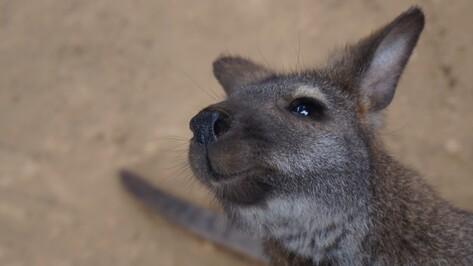 В Воронежском океанариуме поселили 8-месячную кенгуру