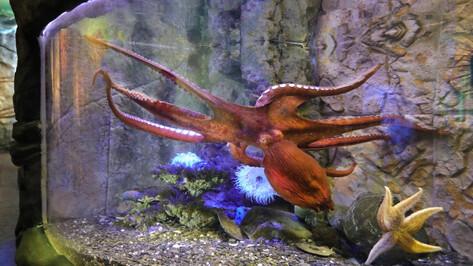 В Воронежском океанариуме появился гигантский осьминог Дофлейна