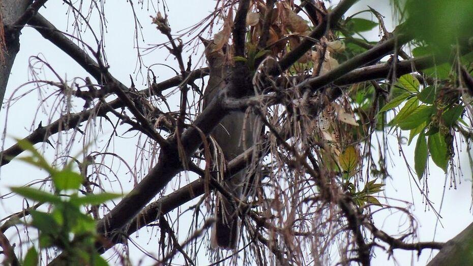 В Верхний Мамон соловьи прилетели раньше на 2 недели