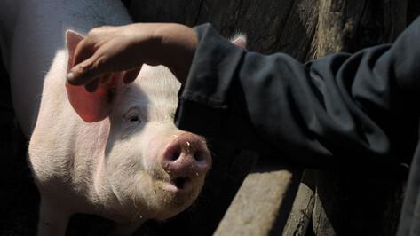 Карантин по африканской чуме свиней отменили в 2 районах Воронежской области