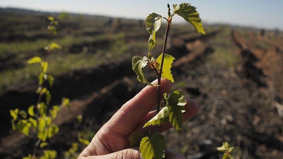 Воронежцы высадят на Кожевенном кордоне 14 тыс берез и сосен