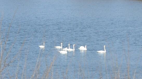 Лебеди поселились на водоеме в поселке Хохольский впервые за много лет