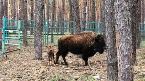 В Воронежском зоопитомнике «Червленый Яр» у пары бизонов родился детеныш