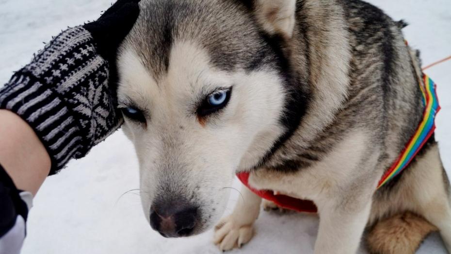 В Воронеже 20 породистых собак соберут деньги для бездомных животных