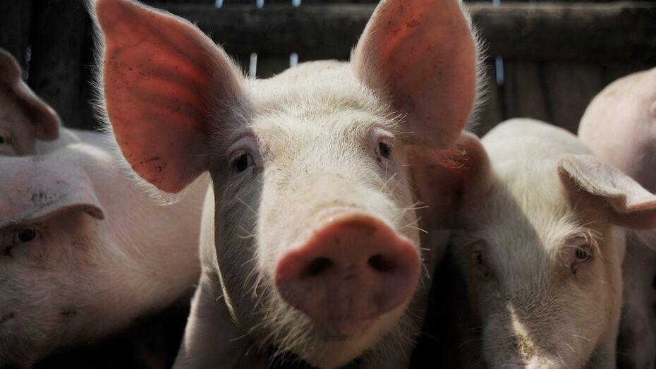 «Черкизово» привезет свиней в новый комплекс под Воронежем к декабрю