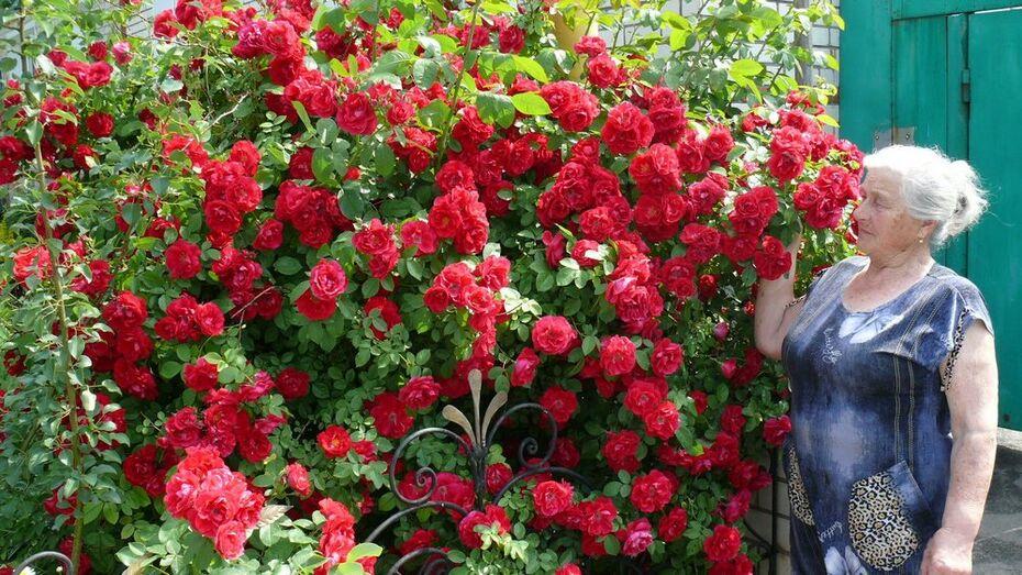 В Грибановском районе на розовом кусте распустилось более тысячи бутонов