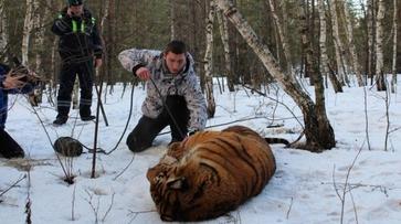 Двое воронежцев получили грамоты за поимку сбежавшего тигра Шерхана