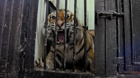 В Воронежском зоопарке амурского тигра назвали Цезарем