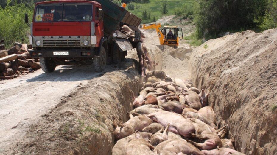В Богучарском районе уничтожено более 1,5 тысяч свиней