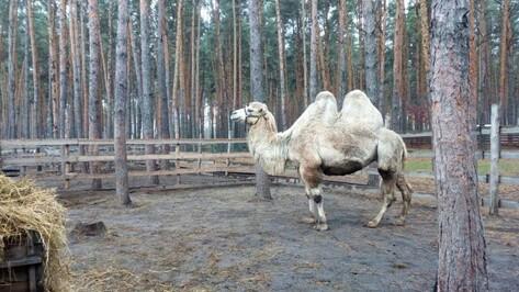 Воронежскому зоопитомнику «Червленый Яр» подарили верблюда
