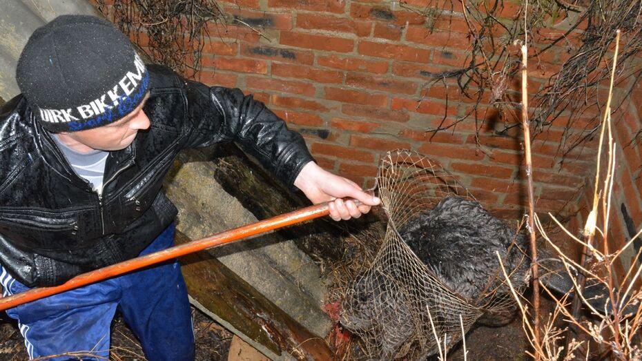 Богучарские селяне спасли провалившегося в яму от старого погреба бобра