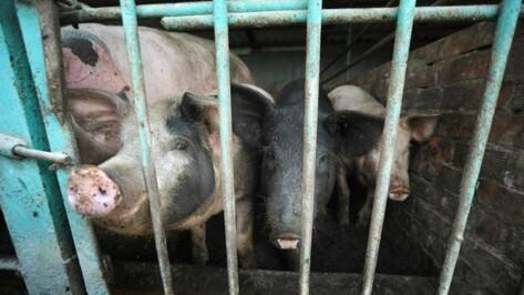 Воронежский фермер попал под следствие за торговлю свиньями с АЧС на севере