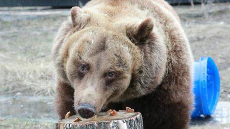 В Воронежском зоопарке медведи окончательно пробудились от зимней спячки