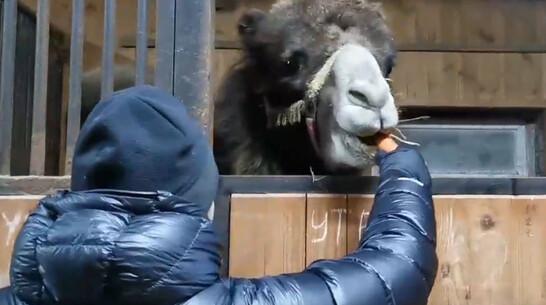 От голодной смерти двух цирковых верблюдиц из Воронежской области спасли нижегородцы