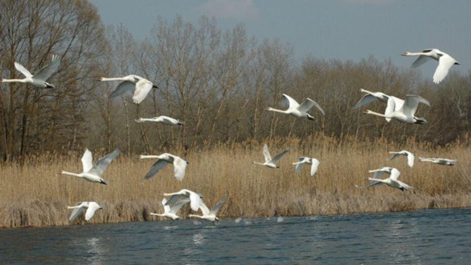 В Бутурлиновку прилетели скворцы, а в Петропавловку – лебеди