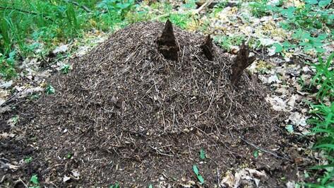 Бутурлиновские лесничие основали 10 новых муравьиных колоний