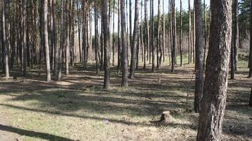 Воронежцы высадили на Кожевенном кордоне 6 тыс берез