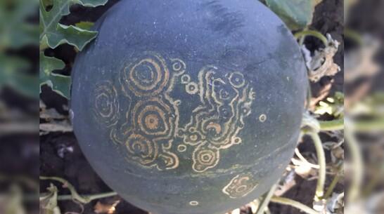 У жительницы Панинского района вырос арбуз с необычным узором