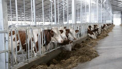 Крупнейший воронежский молочный комплекс достроят к марту 2016 года