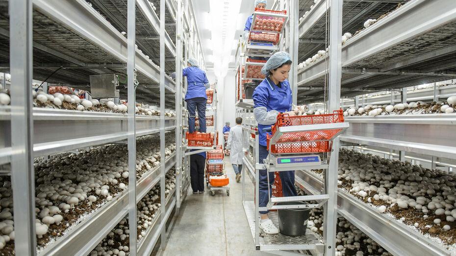 Производство шампиньонов под Воронежем запланировали увеличить в 1,5 раза