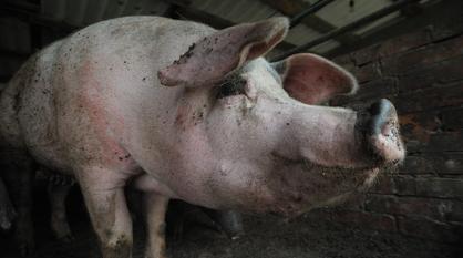 Житель Воронежской области ответит в суде за распространение африканской чумы свиней