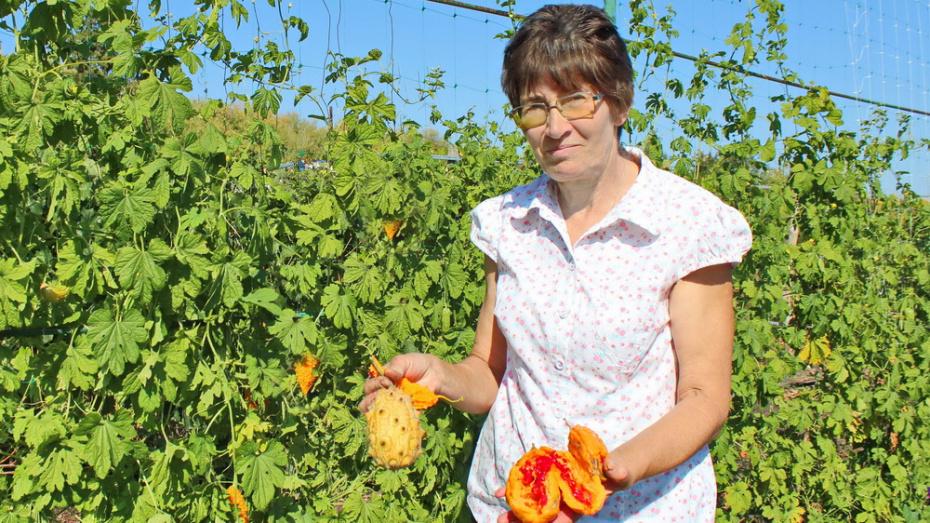 Жительница Воронежской области вырастила на огороде экзотические момордику и кивано