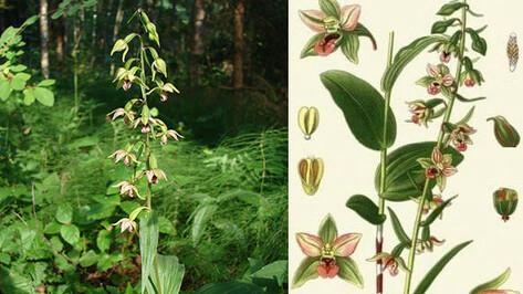 В Воронежском заповеднике лесоводы нашли дикую орхидею