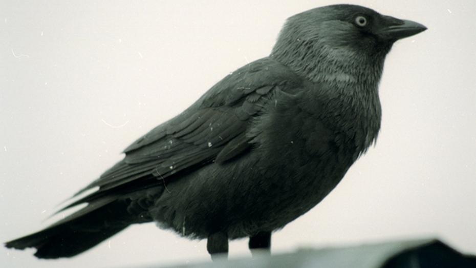 В Воронеже галки и вороны отравились ядом для грызунов