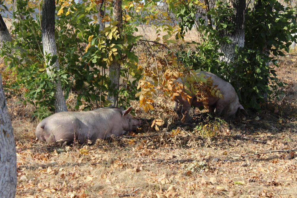 Свиньи обосновались в лесополосе.